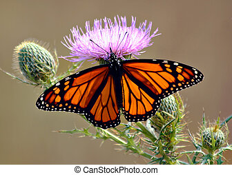Butterfly - Monarch butterfly feeding on a flowering thistle
