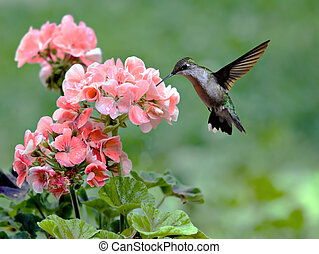 Hummingbird - Ruby-throated hummingbird feeding on a...