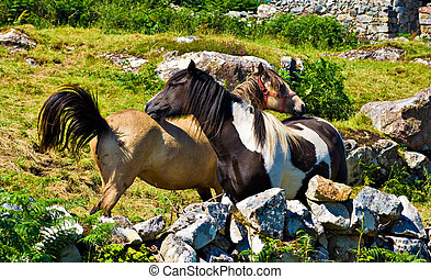 Ponies - Two ponies in Ireland