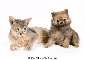 Cat and puppy - Cat of Abyssinian breed and the puppy of the...