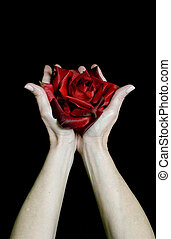Offering the Rose - Female caucasian hands raised offering a...