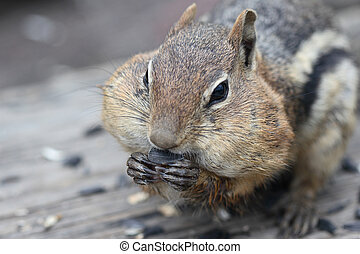 Golden Mantled Ground Squirrel (Spermophilus lateralis) -...