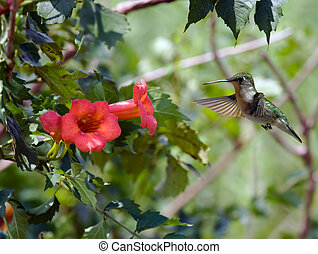 Hummingbird 2 - Ruby-throated hummingbird feeding on a...