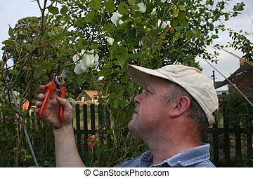 Pruning rose - Gardener pruning an untidy rose bush in the...