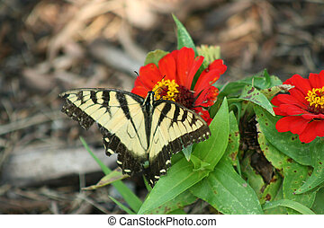 Eastern Tiger Swallowtail butterfly on a red flower