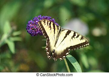 Eastern Tiger Swallowtail butterfly on a purple flower
