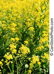 Rapeseed flower field - Close-up view of a field of rapeseed...