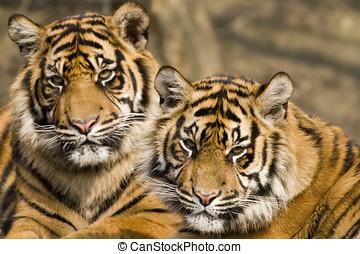 Amur Tiger Panthera tigris altaica - landscape orientation