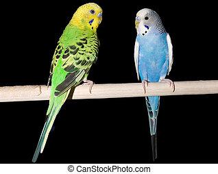 Parakeet Pair - a green parakeet and a blue parakeet on a...