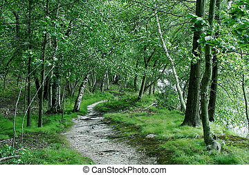 Birch Tree Forest - Trail through Birch Tree Forest