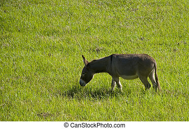 donkey eating grass - a grey brown donkey or ass grazing on...