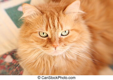 maine coon cat - orange maine coon cat taken at my...