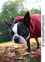 boston terrier in park - bailey the boston terrier posing in...