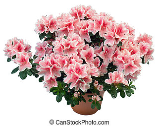Azalea - Blossoming plant of azalea in flowerpot isolated,...
