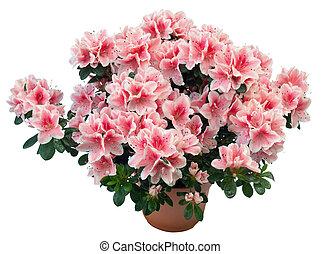 Azalea - Blossoming plant of azalea in flowerpot (isolated,...