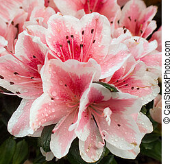 Azalea background - part of blossoming azalea plant pink...