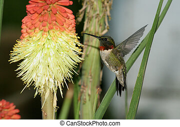 humming Bird hovering - Humming Bird humming at yellow red...