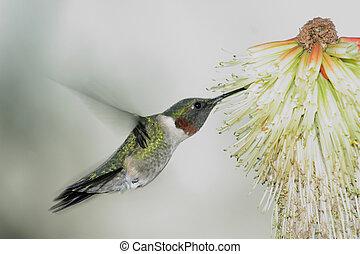 humming Bird hovering 3 - Humming Bird humming at yellow red...