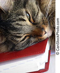 Cat Nap - Tawny tiger-stripe cat napping on a book