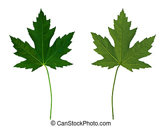 Maple Leaf 1 Front and Back - Isolated macro green tree leaf...