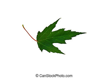 Maple Leaf 2 - Isolated macro green tree leaf