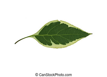 Leaf 6 - Isolated macro green tree leaf