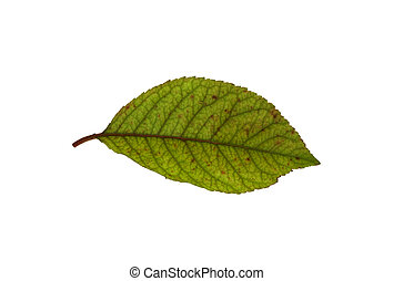 Leaf 10 - Isolated macro green tree leaf