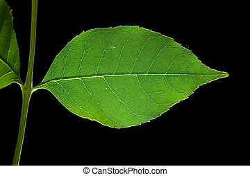 Leaf 12 - Isolated macro green tree leaf