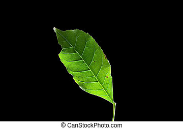 Leaf 13 - Isolated macro green tree leaf