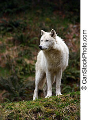 White Wolf - Large white wolf focused on something in the...