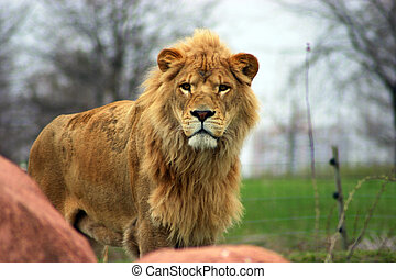 King of the Jungle - Large male lion with full mane and...