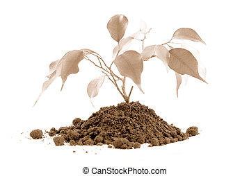 Plant on Sephia - Plant and earth on white. Plant a plant...