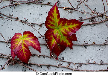 Colorful Ivy - Boston Ivy (Parthenocissus tricuspidata) on a...