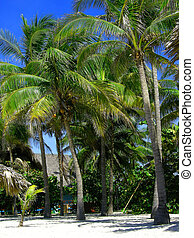 palm trees with coconuts at a resort in Varadero Cuba