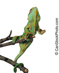 chameleon - green chameleon on a branch over white...