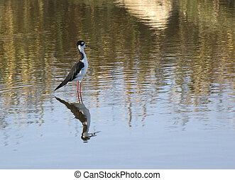 Black-necked Stilt Himantopus mexicanus