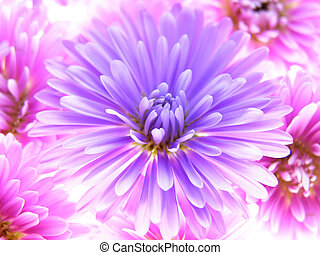 colorful asters - Close-up of colourful purple and pink...