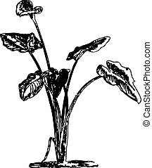 Callas - calla illustration