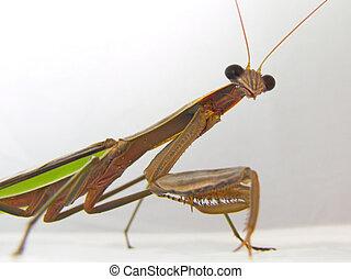 Praying Mantis - A Closeup of a Praying Mantis