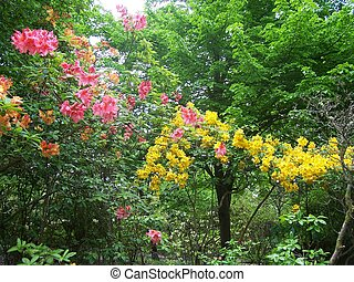 Garden - rhododendron, azalea and trees at Exbury Gardens UK...