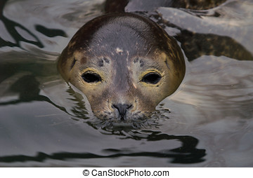 Harbour Seal - Rescued Harbour Seal Phoca Vitulina -...