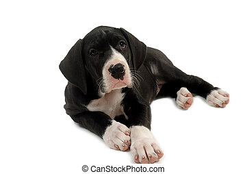 Great dane puppy - Great dane pyppy is resting. Taken on...