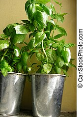basil plants potted organically grown with fresh green...