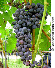 merlot bunch on the vine - merlot bunch of grapes ripe on...