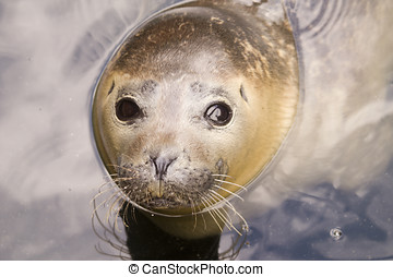 Harbour Seal - Rescued Harbour Seal (Phoca Vitulina) -...