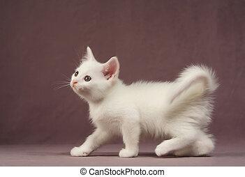 White Kitten - Adorable white kitten