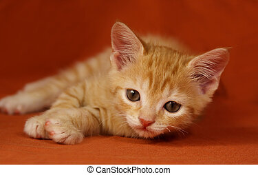 tabby Kitten - Adorable tabby kitten