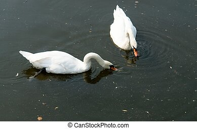 Two white swans on the dark river