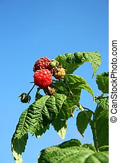 Raspberry - this image shows untreated raspberry with blue...