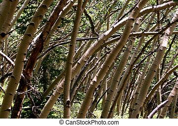 Bent Aspens 2 - An aspen grove bent by the mountain winds...